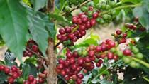 Vẫn chưa nhìn ra yếu tố hỗ trợ giá cà phê từ nay đến cuối năm