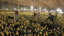 Chuẩn bị hơn 1.500 ha hoa Đà Lạt cho Tết Nguyên đán