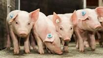 Trung Quốc: Giá lợn giảm, nguồn cung tăng cao
