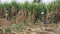 Vực dậy ngành mía đường - Bài cuối: Cạnh tranh công bằng và giải pháp liên kết chuỗi