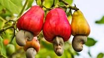 Vì sao Việt Nam không mở rộng diện tích trồng điều?