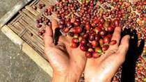 Việt Nam có thể gia tăng thị phần xuất khẩu cà phê khi thủ phủ Brazil mất mùa?