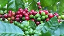 Cà phê châu Á: Giá cà phê Việt Nam tăng cao do nguồn cung khan hiếm