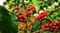 Thị trường đường, cà phê, ca cao thế giới ngày 20/9/2017