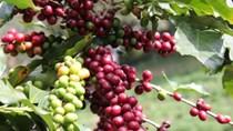 Thị trường cà phê, ca cao ngày 08/6/2017