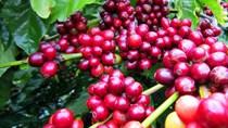 Giá cà phê ngày 13/9 đảo chiều tăng chạm mốc 33.000 đồng/kg