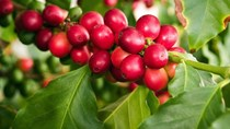 Cà phê châu Á: Cà phê VN vụ 2018/19 dự báo giảm, nguồn cung thắt chặt ở Indonesia