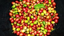 TT cà phê ngày 11/01: Giữ vững ở mức 32.900 – 33.700 đồng/kg