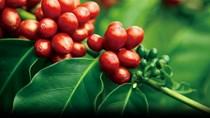 Cà phê châu Á: Cà phê London tăng giá nới rộng mức trừ lùi cà phê Việt Nam