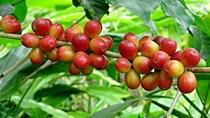 Giá cà phê ngày 20/9 tiếp tục đổi hướng