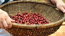 Cà phê châu Á: Cung Indonesia được dự đoán giảm trong tháng 9, Việt Nam ảm đạm