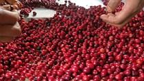 TT cà phê ngày 12/12: Đổ sập, Lâm Đồng dưới 33.000 đồng/kg