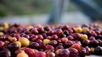 Giá cà phê ngày 23/10 lao dốc xuống dưới 37.000 đồng/kg