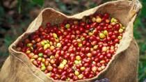 Cà phê châu Á: Hoạt động bán cà phê tăng lên tại VN và Indonesia nhờ giá TG tăng