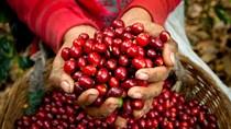 Cà phê châu Á: VN yên ắng bất chấp giá toàn cầu hồi phục;mức cộng Indonesia thắt chặt