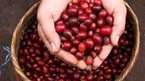 TT cà phê ngày 11/9: Giá tiếp nối đà tăng, Đắk Lăk gần chạm mốc 34.000 đồng/kg