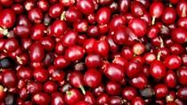 TT cà phê tuần 35: Giá tại các khu vực trọng điểm giảm 300 đồng/kg