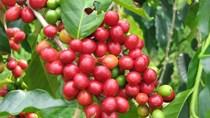 TT cà phê ngày 12/9: Giá tăng phiên thứ ba liên tiếp, mức thấp nhất ở 33.000 đồng/kg