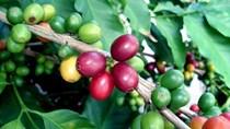 TT cà phê tuần 26: Tăng 400 đồng/kg so với tuần trước, nguồn cung suy yếu