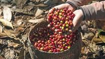 TT cà phê ngày 12/7: Giá giảm phiên thứ 2 liên tiếp, Đắk Nông mất mốc 33.000 đồng/kg