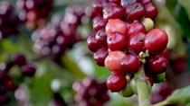TT cà phê ngày 10/10: Giá chững lại trên toàn vùng nguyên liệu
