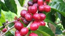 TT cà phê ngày 05/01: Giá cao nhất tại Tây Nguyên mất mốc 33.000 đồng/kg