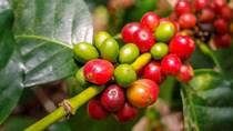 Tìm giải pháp nâng giá trị cà phê Việt