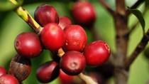 TT cà phê ngày 14/01: Giá đảo chiều tăng, đạt mức cao nhất ở 32.000 đồng/kg