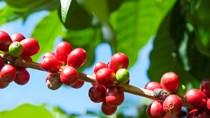 TT cà phê ngày 06/5: Giá nội địa bật tăng mạnh mẽ lên trên mốc 34.000 đồng/kg