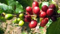 TT cà phê ngày 07/5: Giá giao dịch ở mức 33.500 – 34.300 đồng/kg
