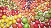 TT cà phê ngày 01/4: Giá giao dịch ở 31.300 – 32.100 đồng/kg