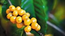 Giá cà phê hôm nay 04/6: Sắc đỏ bao phủ cả trong nước và thế giới