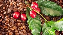 TT cà phê tuần 44: Giá cải thiện, thu hoạch cà phê vụ mới 2019/20 còn chậm