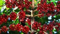 TT cà phê ngày 16/12: Giá giữ vững ở 32.500 – 32.800 đồng/kg