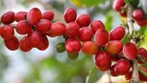 TT cà phê ngày 09/12: Giữ vững mức giá phiên cuối tuần