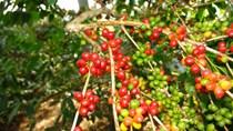 Thị trường cà phê tháng 11/2019: Biến động trong tâm thế chờ thỏa thuận Mỹ - Trung