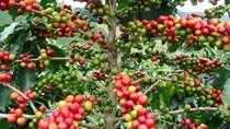 TT cà phê ngày 11/12: Giá tăng mạnh mẽ, gần chạm mốc 34.000 đồng/kg