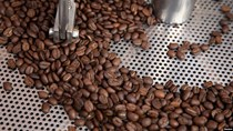 TT cà phê ngày 27/3: Giá đảo chiều sụt giảm xuống 30.300 – 30.500 đồng/kg
