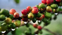 TT cà phê ngày 20/3: Lâm Đồng quay lại mức giá thấp nhất 29.900 đồng/kg