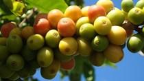 TT cà phê ngày 26/6: Giá giảm mạnh, tại Lâm Đồng mất mốc 30.000 đồng/kg