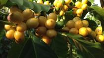 TT cà phê ngày 04/12: Giá hồi phục nhẹ 100 đồng/kg