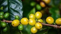 TT cà phê ngày 17/6: Giá mất mốc 31.000 đồng/kg trên toàn vùng nguyên liệu trọng điểm