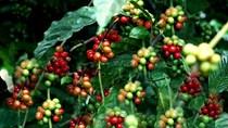 TT cà phê ngày 15/5 hồi phục 400 đồng trên toàn vùng nguyên liệu