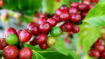 TT cà phê ngày 25/6: Tiếp nối đà giảm xuống mức 30.200 – 30.700 đồng/kg