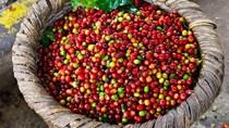 TT cà phê ngày 22/7: Giá tại các vùng nguyên liệu hồi phục trên mức 32.000 đồng/kg
