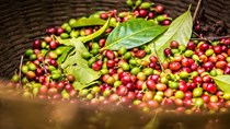 TT cà phê ngày 06/8: Các vùng trọng điểm Tây Nguyên đồng loạt giảm giá