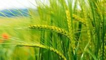 Giá nông sản và kim loại thế giới ngày 14/7/2020