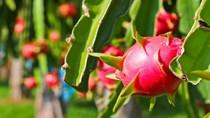 TT nông sản ngày 22/6: Giá thanh long xuống thấp nhưng diện tích trồng vẫn tăng
