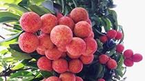 TT nông sản ngày 09/6: 9 tấn vải U hồng sẽ sớm cập bến Australia