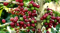 Giá cà phê hôm nay 22/10: Uganda thay thế Ấn Độ trở thành nước xuất khẩu cà phê lớn thứ 5 thế giới